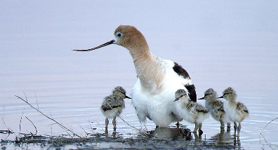 Avocets at Malheur | Photo Credit: Barbara Wheeler of U.S. Fish and Wildlife Service Headquarters